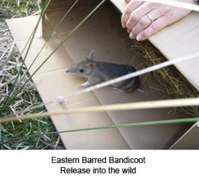 Eastern Barred Bandicoot