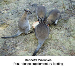Bennetts Wallabies